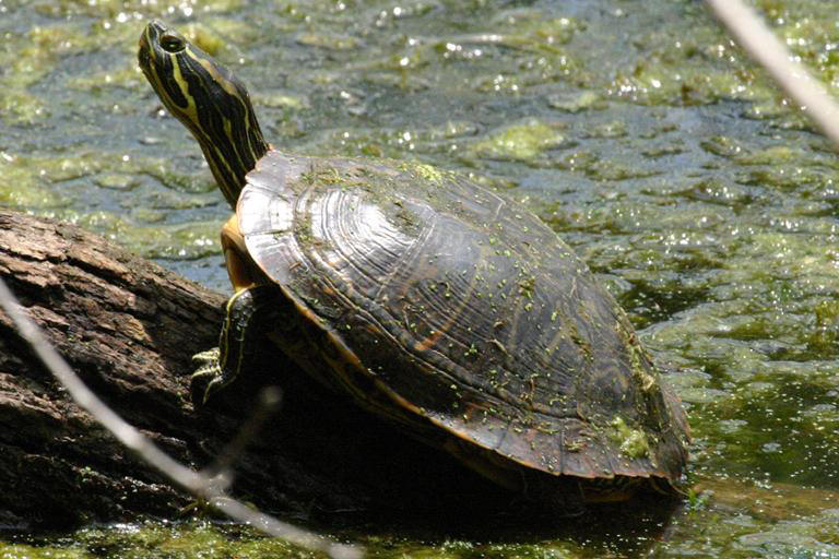 Land Turtles Related Keywords & Suggestions - Land Turtles Long Tail ...