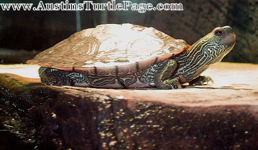 yellow belly turtle care guide