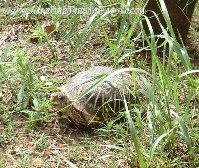 care sheet   ornate box turtle