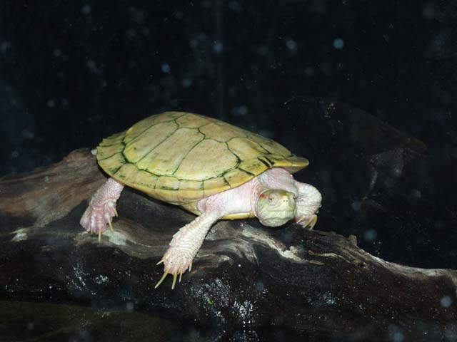 Care Sheet Red Ear Slider