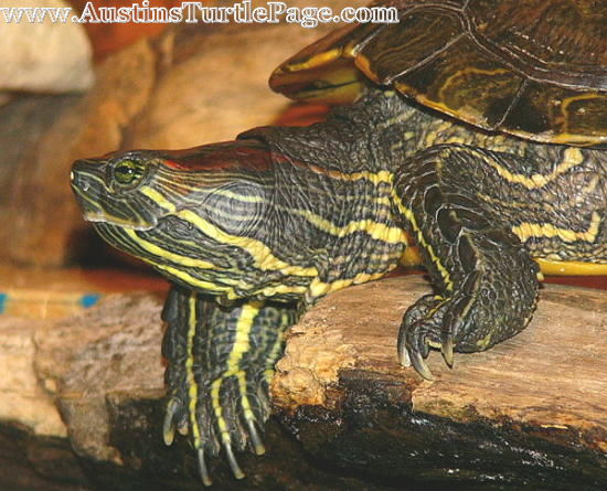 Slider Turtle Care : Click on thumbnail to view larger picture