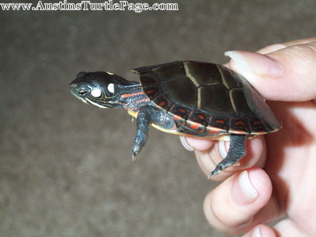 Southern Painted Turtle Fully Grown Care sheet - eastern painted