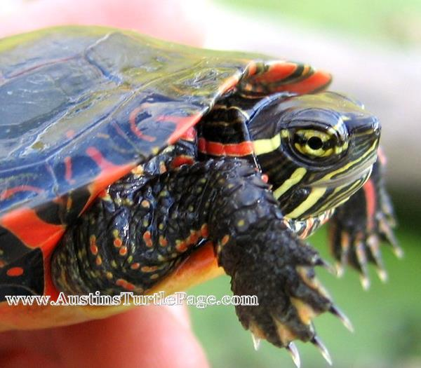 Painted turtle care feeding painted turtle care