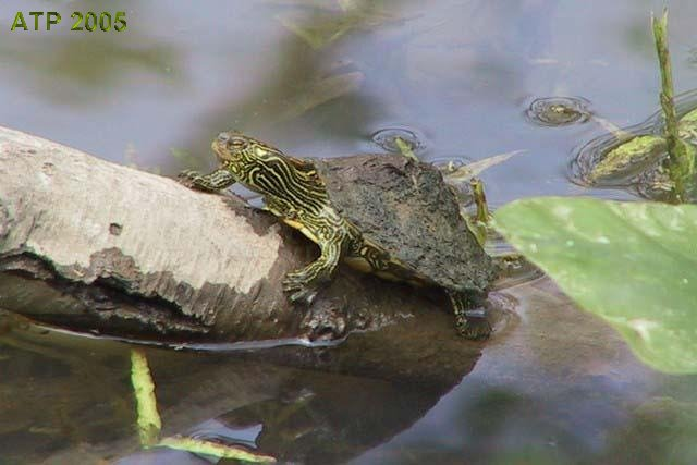 care sheet northern map turtle