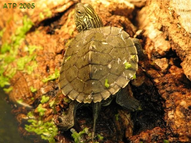 Care Sheet - Northern Map Turtle