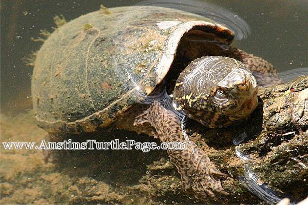 Stinkpot Turtle Tank Atp - care sheet: stinkpot