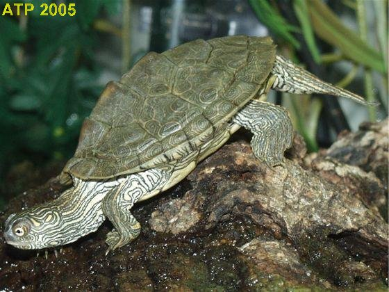 Texas Map Turtles