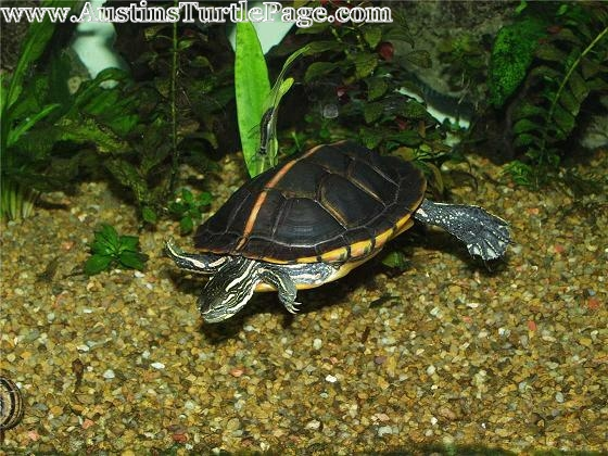 Plants For Aquatic Turtles : Article: Planted Turtle Tanks