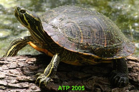 View topic more slider trachemys for Trachemys scripta