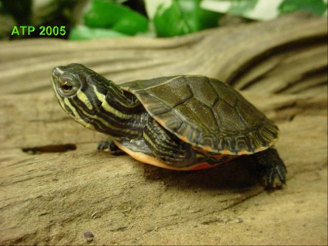 Painted turtle care feeding western painted turtle care