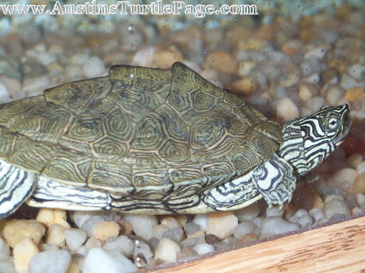 Map Turtle Care Care Sheet   Cagle's Map Map Turtle Care