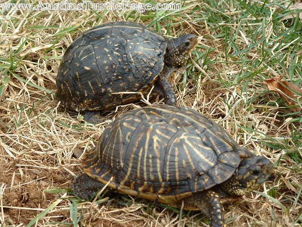 Care Sheet Florida Box Turtle