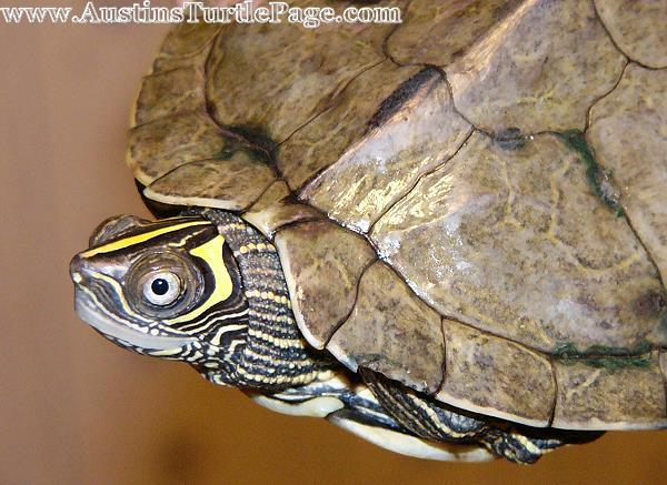 mississippi map turtle male or female Care Sheet Mississippi Map mississippi map turtle male or female