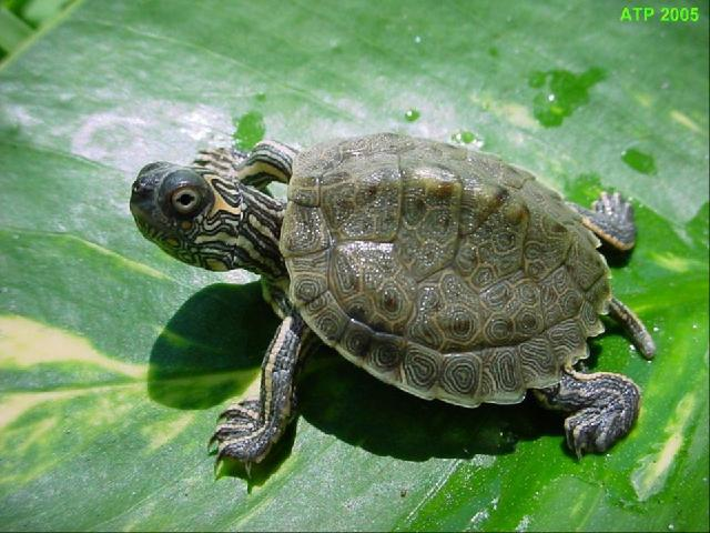 Texas Map Turtle ATP   Care Sheet: Texas Map Turtle