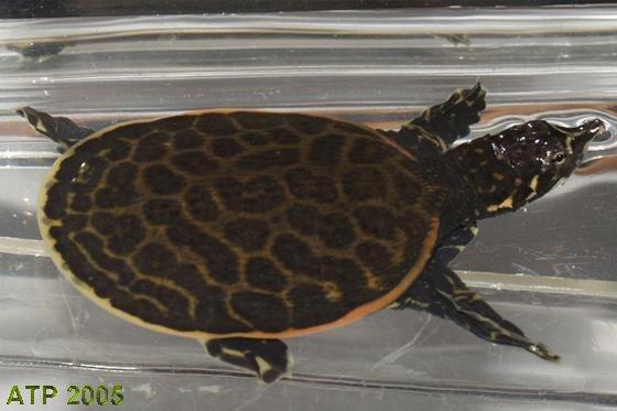 Florida Softshell Turtle Care Guide - Sand & Silt - Turtle ...